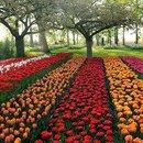 Поля тюльпанов в Нидерландах