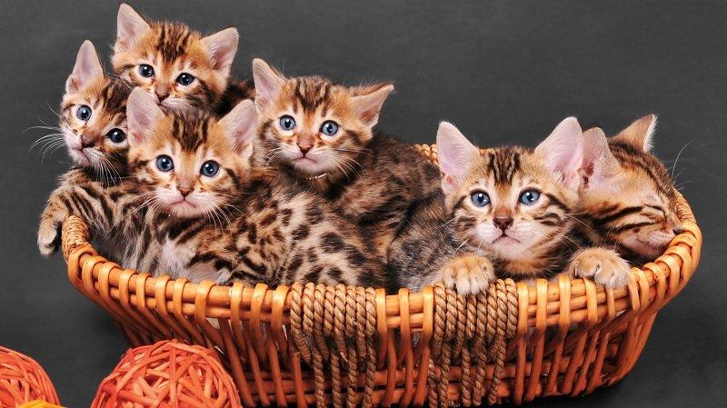 Кошки у лукошке