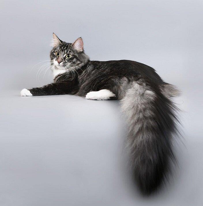 пушистый хвост кота картинка ещё такие