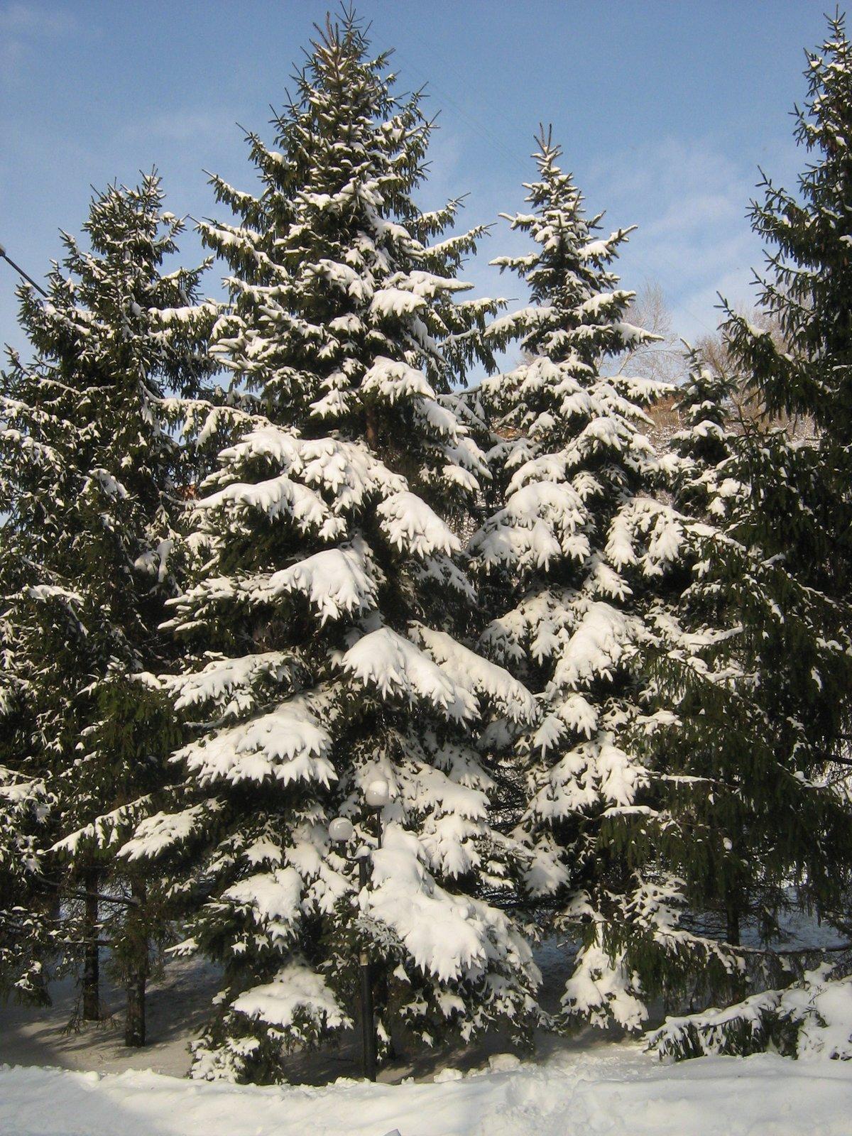 Картинки хвойных деревьев зимой