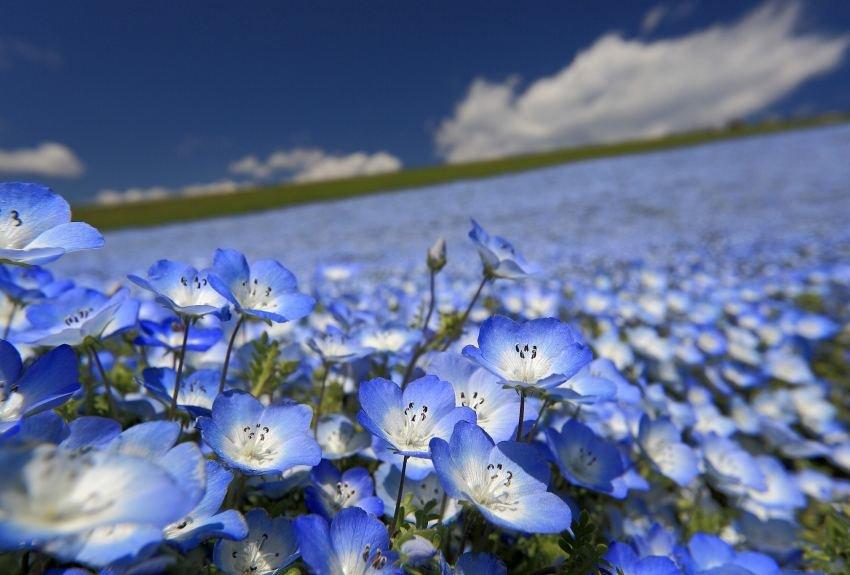 field of blue flowers hd wallpaper 2016 for free download desktop