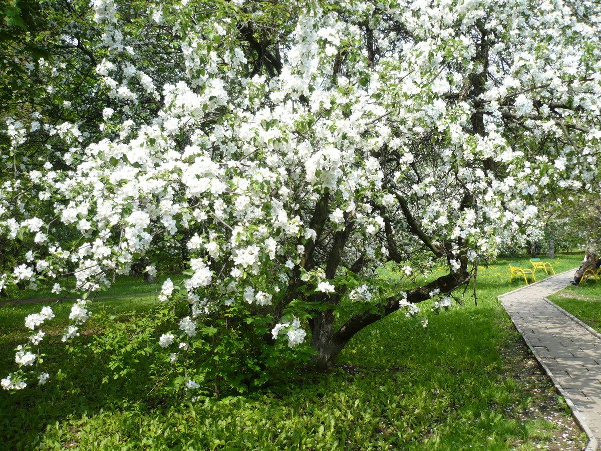 россиянам картинки яблоневого сада цветущего специализированный