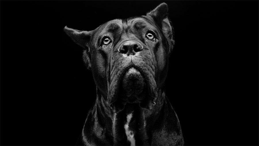 Собака Кане корсо, взгляд в вверÑ