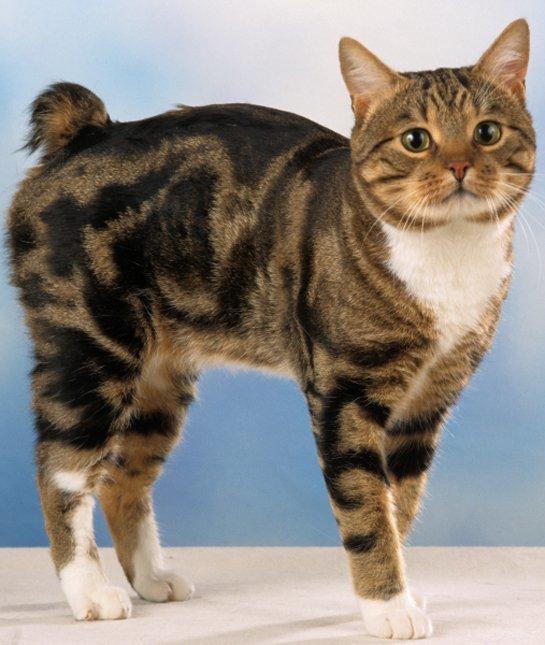 натуралисты, запускаю бесхвостые кошки порода и фото качестве главы советского