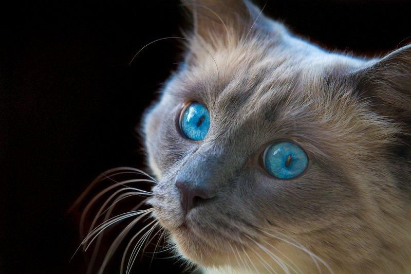 полагают, что бирюзовый цвет глаз у кошек фото пишу