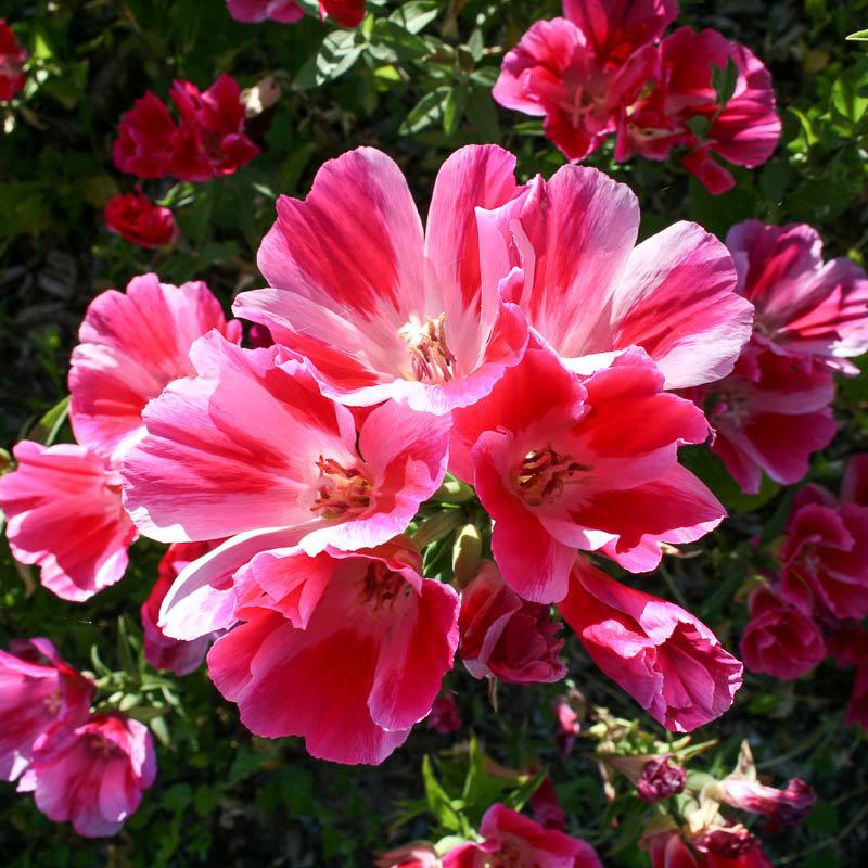 видео кларкия фото цветы скругленными фасками