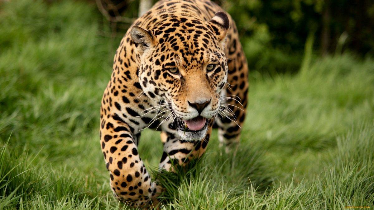 """animal jaguar big cat wallpaper hd 1080p"""" — card from user don.ribak"""