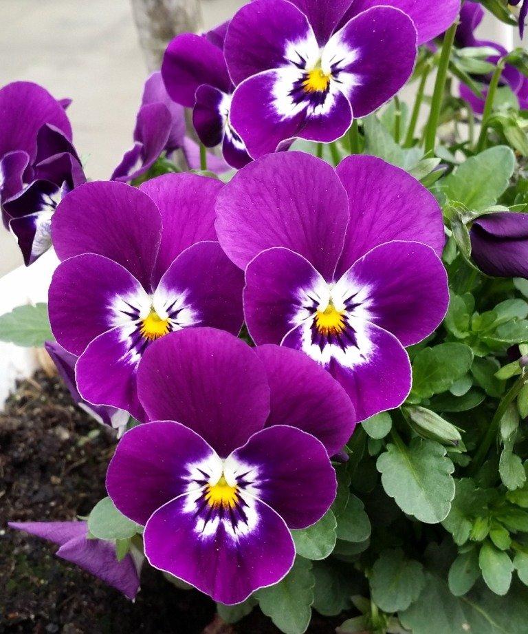 Бордюрные низкорослые цветы - анютины глазки фото