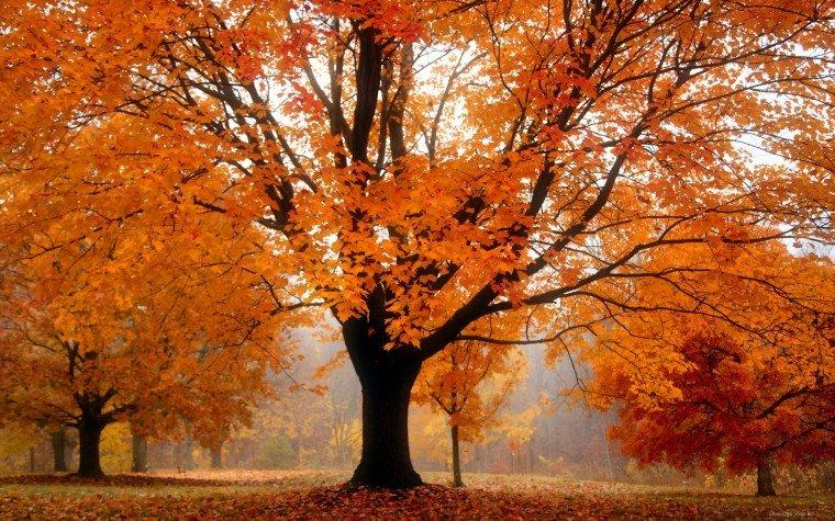 Деревья покрытые оранжевой листвой.