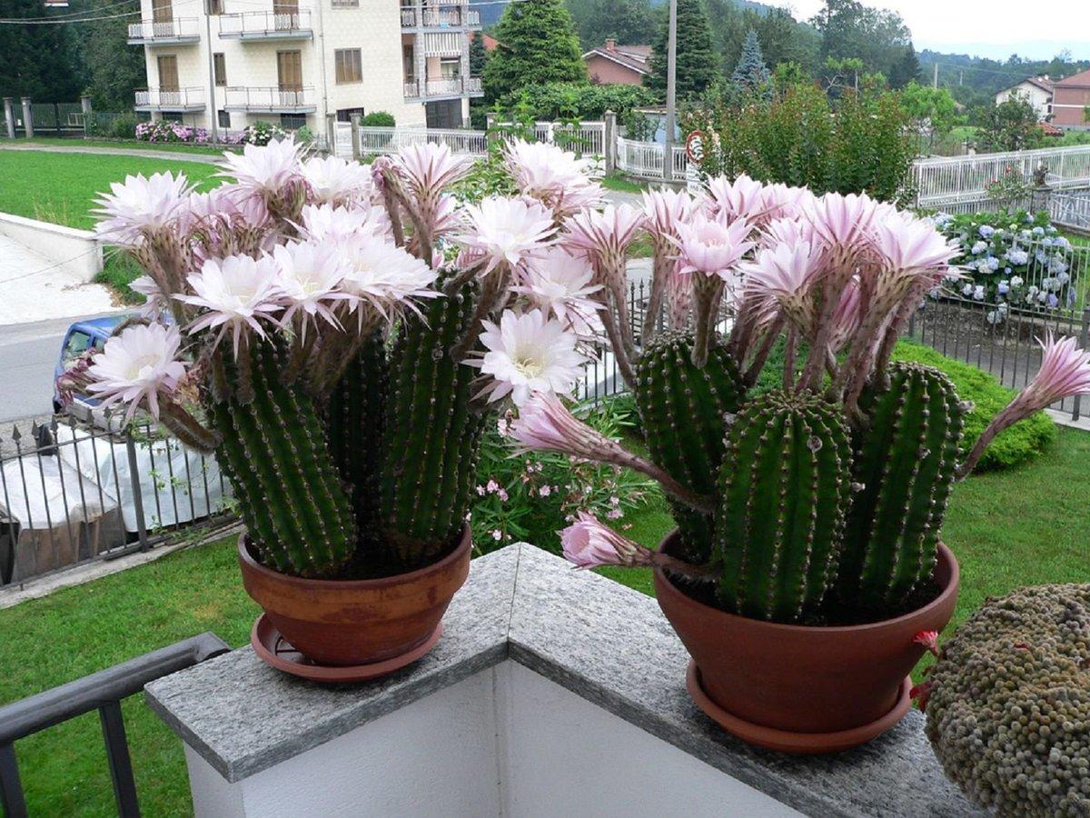 Отличительной особенностью являются крупные цветы различной расцветки на удлиненных ножках. Они, словно антенны, направлены в разные стороны.