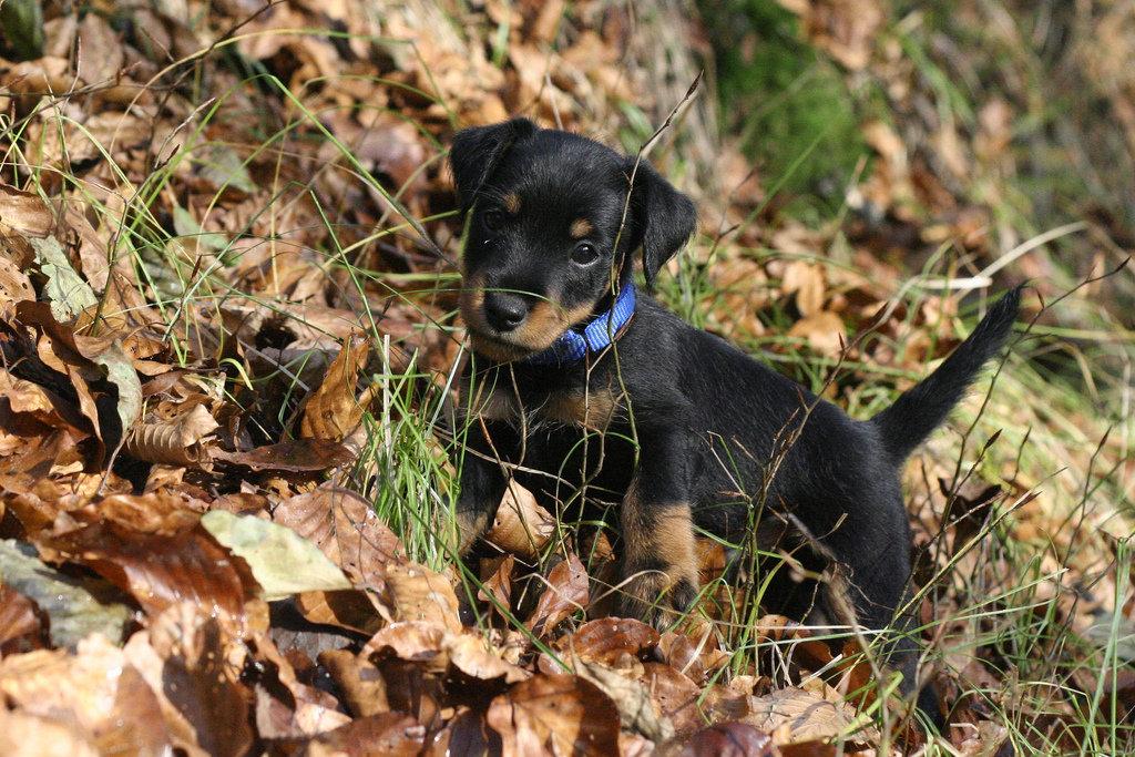 картинки собаки немецкий ягдтерьер онечно же