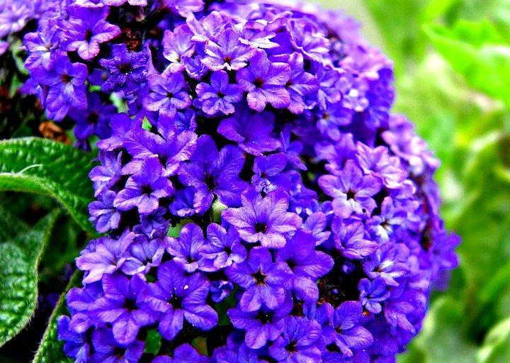 гелиотроп цветок фото описание