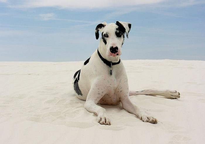 Собаке этой породы принадлежит рекорд роста — 1,1 метра