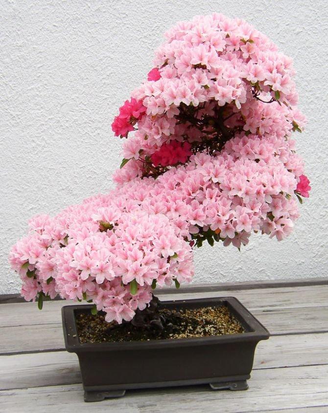 красивое розовое дерево