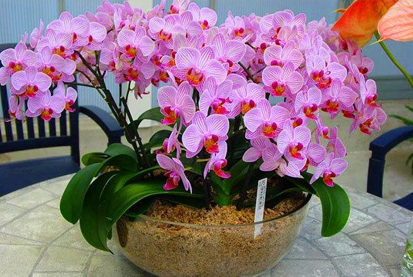 Iată cum poți stimula orhideea ca să înflorească din nou! Vecina mea mi-a recomandat aceste trucuri, iar acum orhideea mea este mult mai ușor de îngrijit!