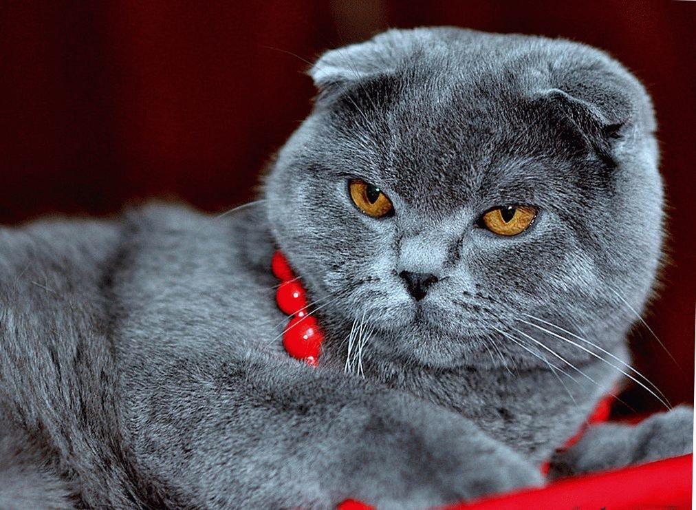 вислоухий шотландский кот фотографии нужно