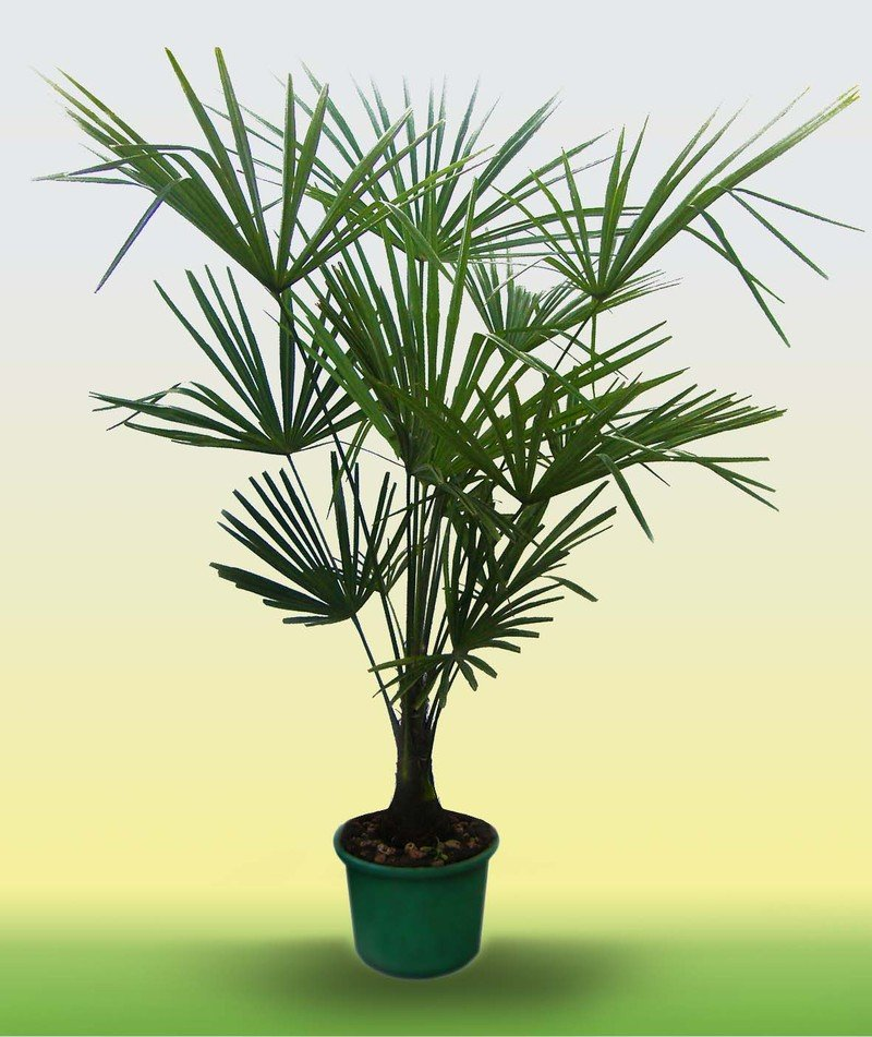 Картинки пальм и названия