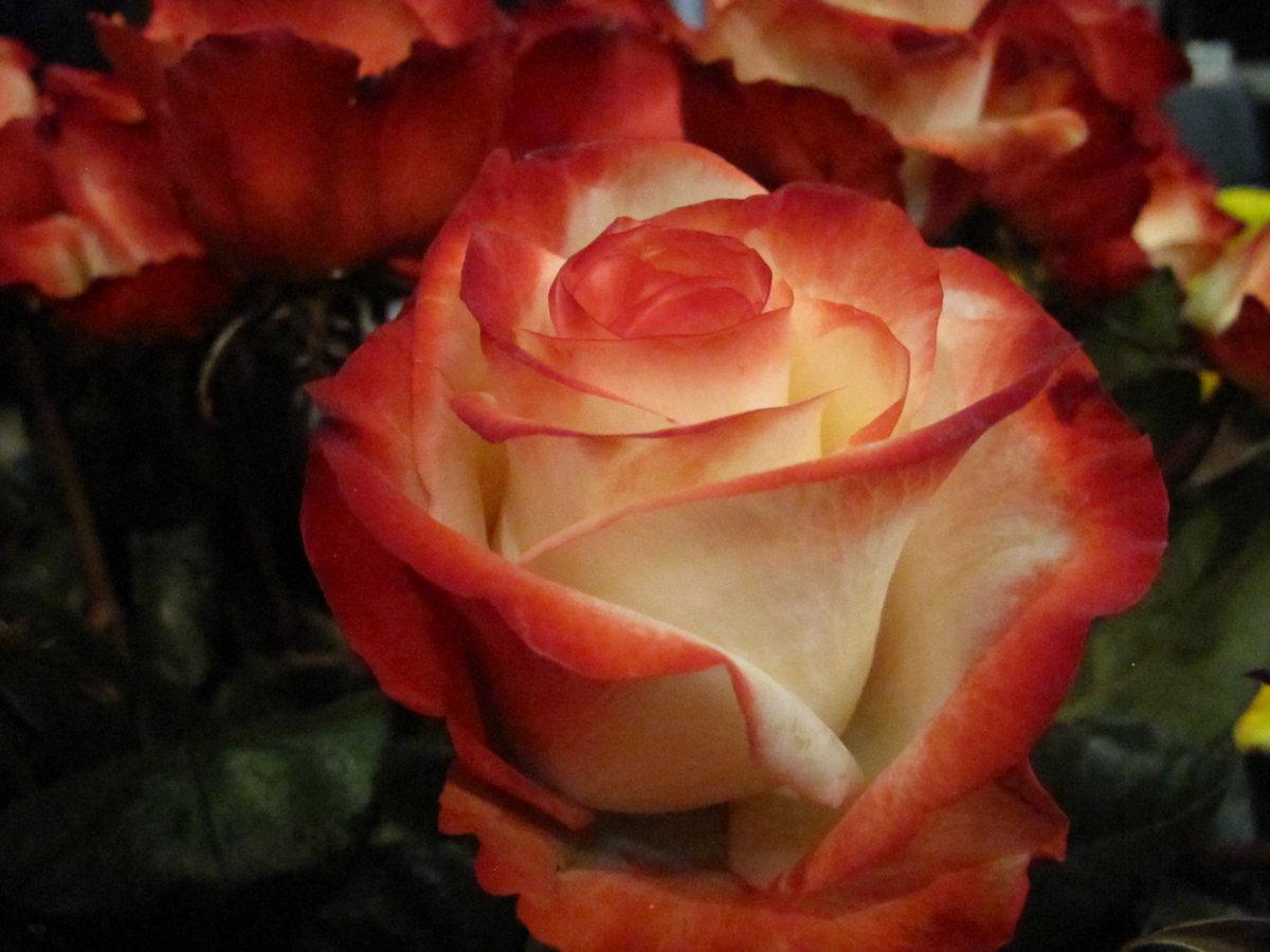 шаблон разновидности роз с фото и названиями логотип оценили более