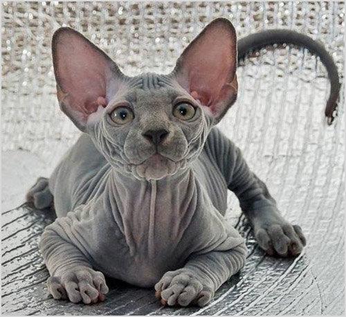 фото канадский сфинкс котята