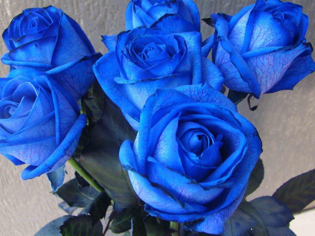 Синие розы фото