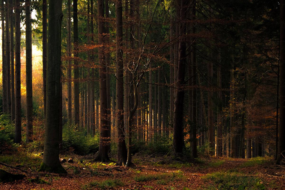 Картинка густой лес