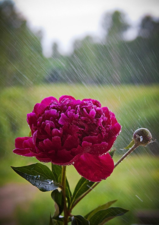 Цветы под дождем картинка