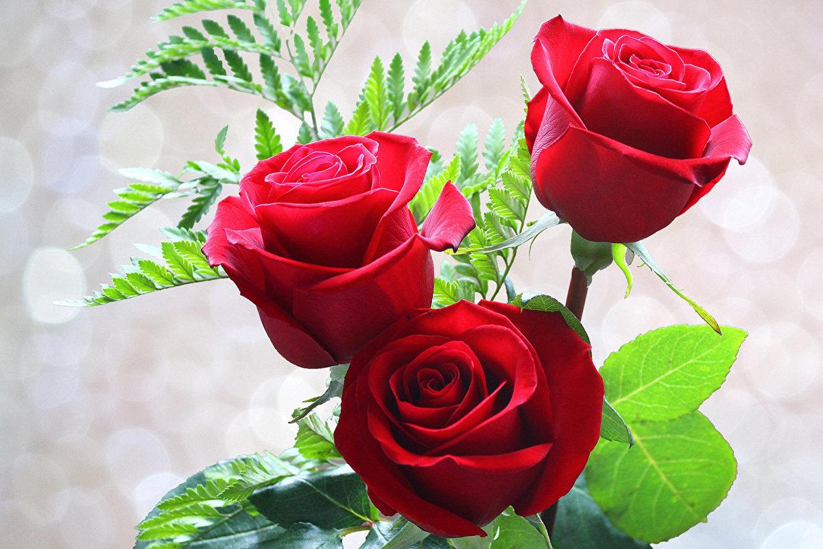 Открытка красивая роза