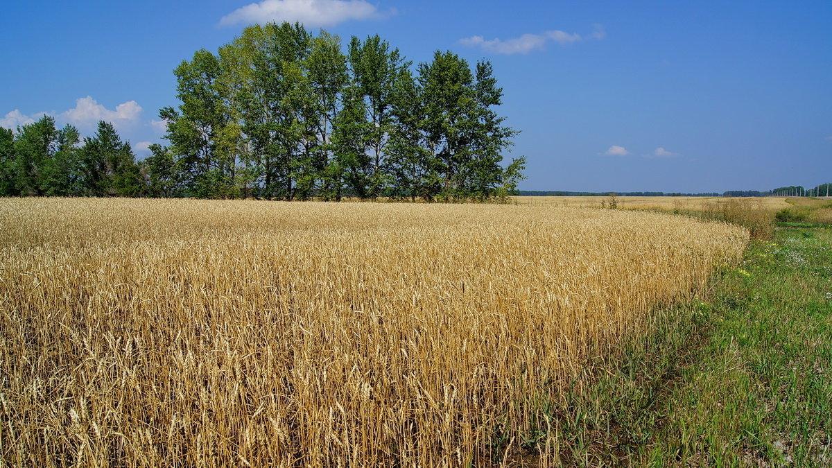 Картинки поле хлебное