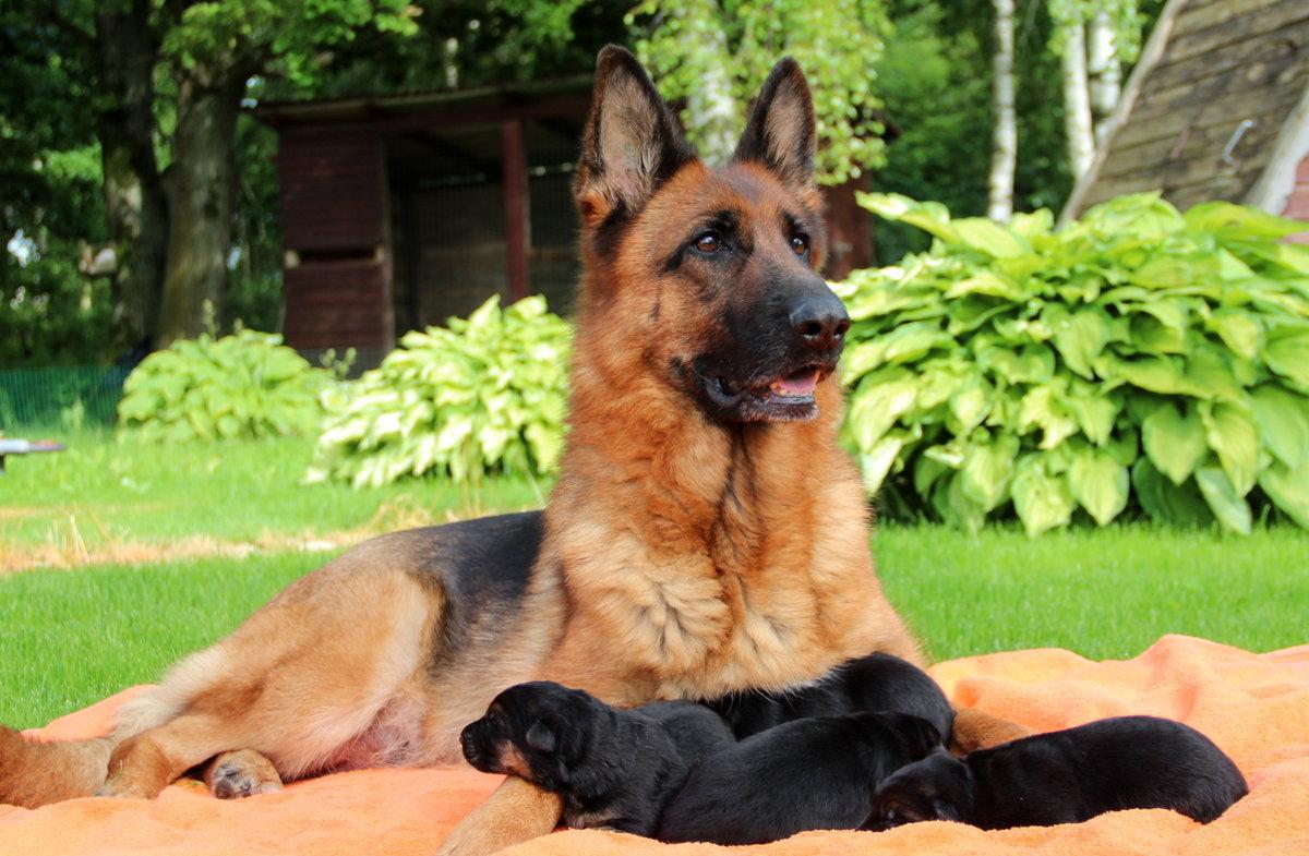 лучше картинки собак овчарок немецких щенков наверняка сами замечали