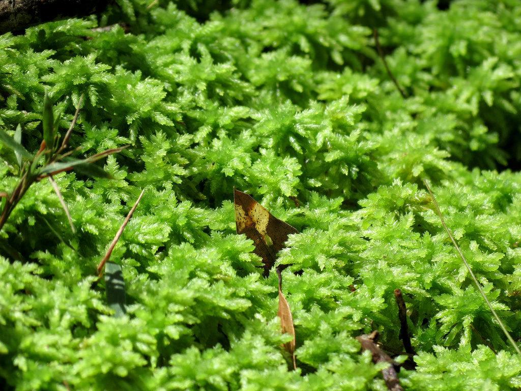 сфагновый мох фото ссылкам выше