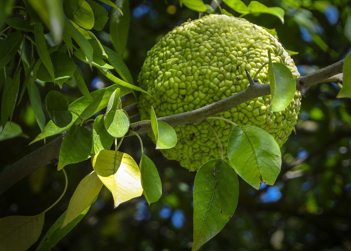 дерево адамово яблоко фото формой, цветом