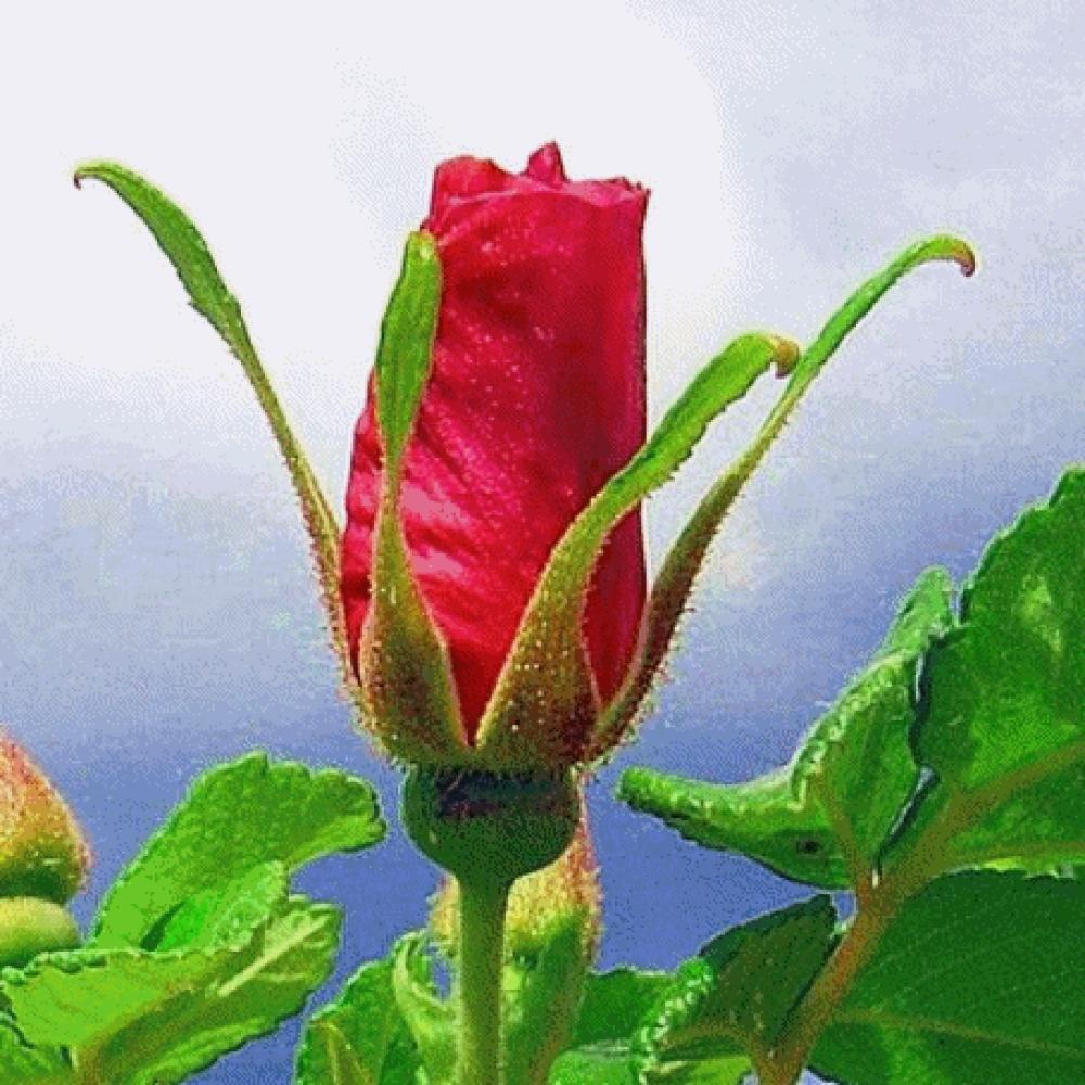 Картинки анимации цветок раскрывается, картинки открытки