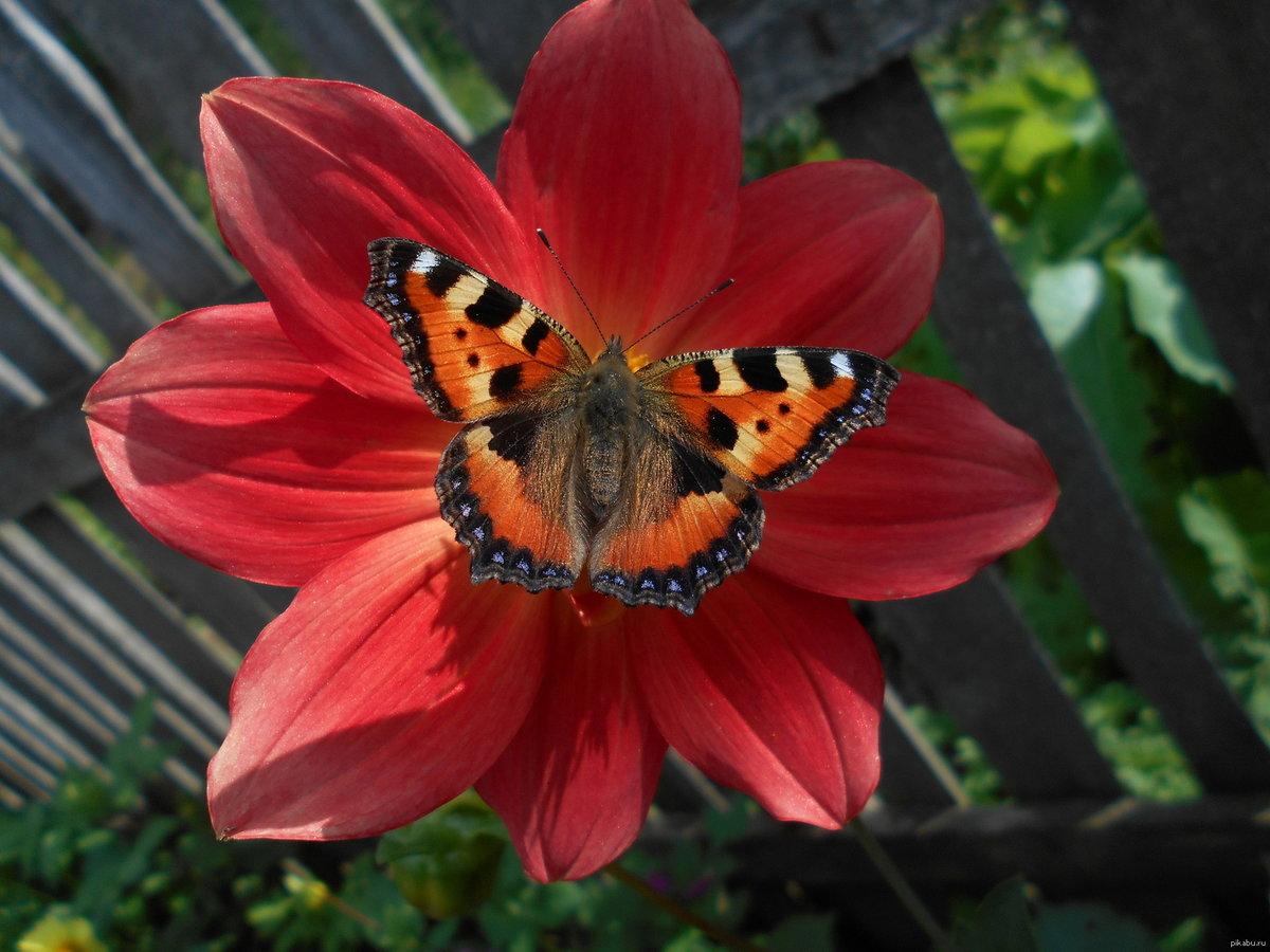 Бабочки на цветах картинки фото
