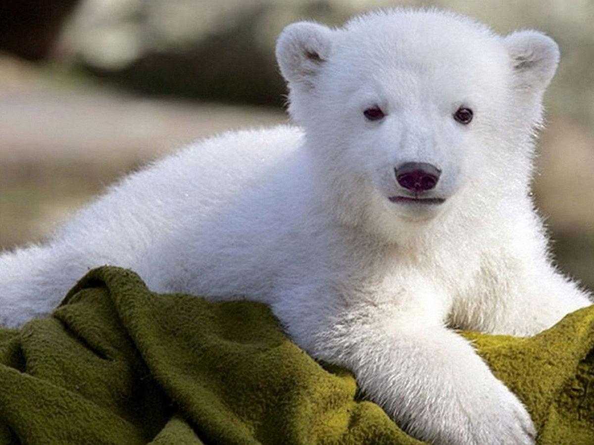 красивые медвежата картинки сексапильную брюнетку