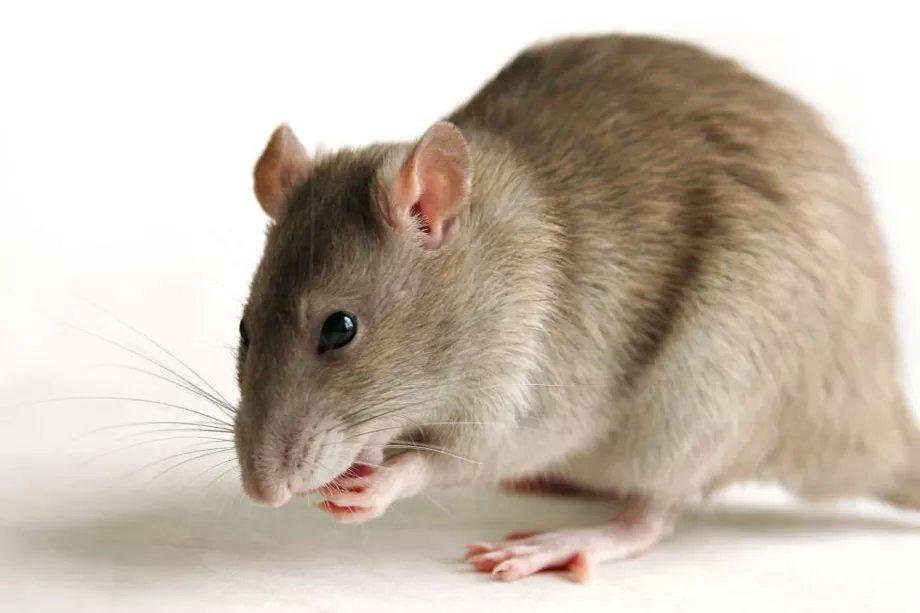 Картинка мышей и крыс