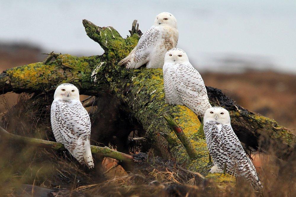 Животные птицы тундры фотографии