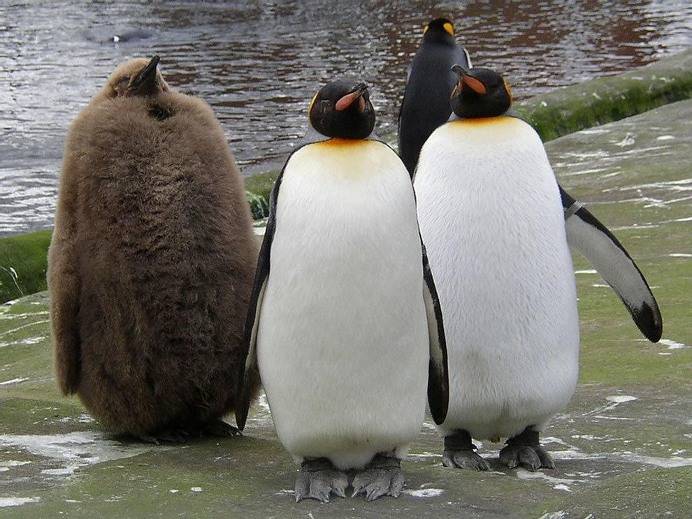 Прикольная картинка пингвины, для