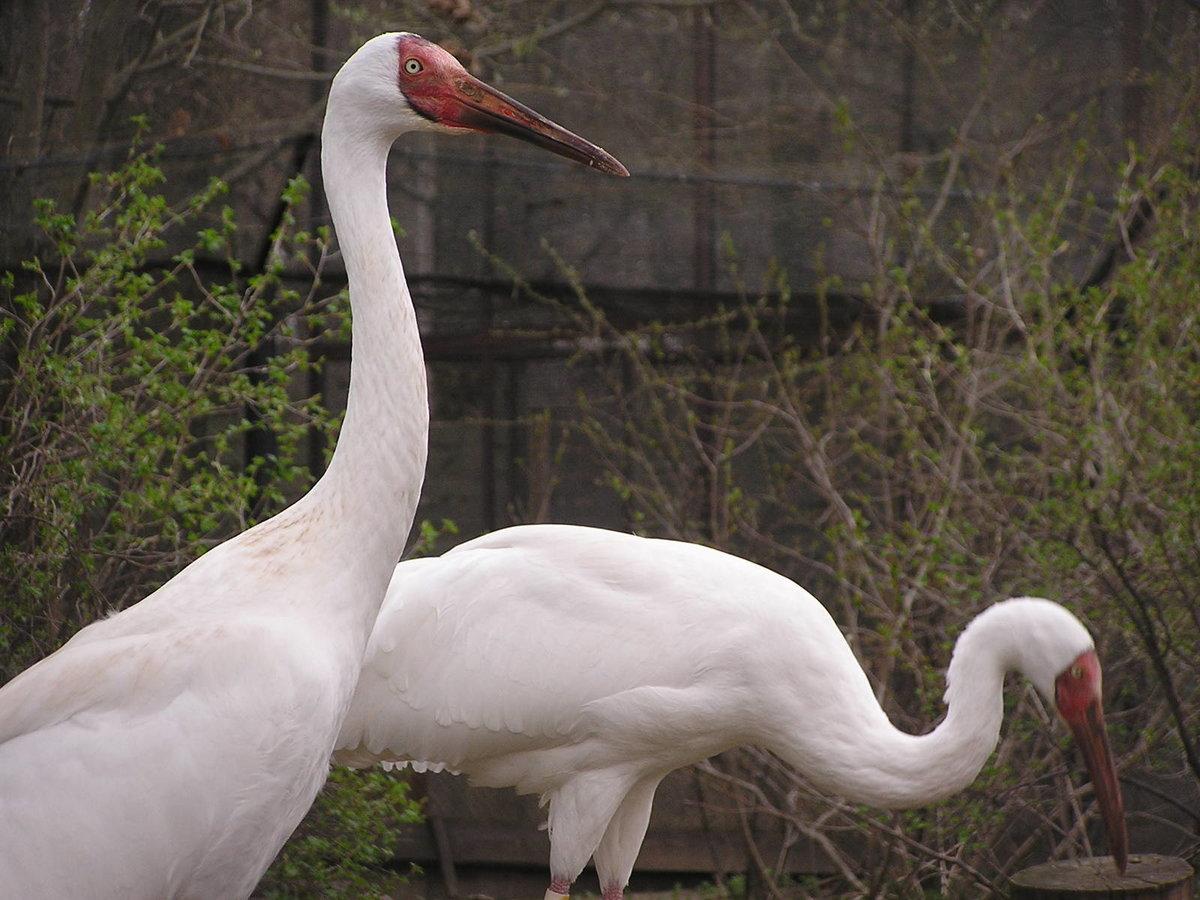 необходимо белый журавль фото птицы затягивают