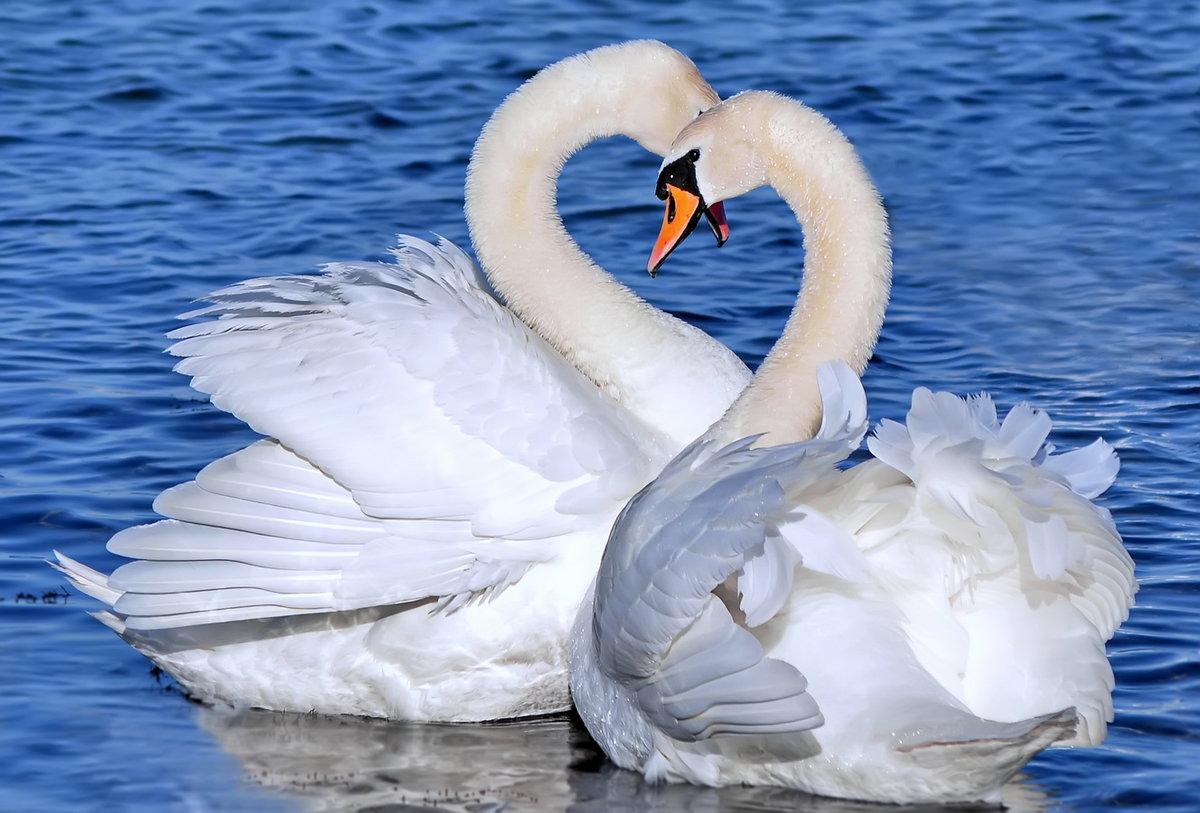 Лебеди картинки красивые