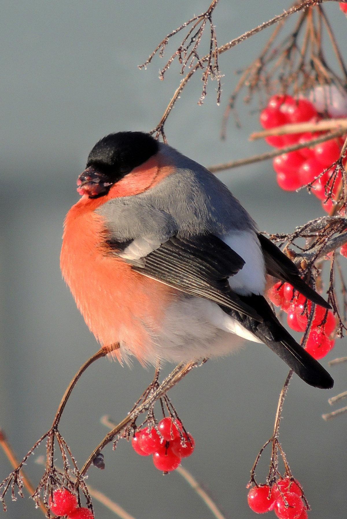 отличный зимние картинки птицы выключатель