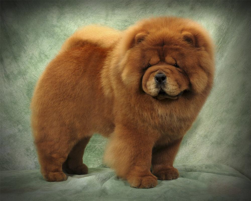 Картинки чау-чау собака, поздравления днем рождения
