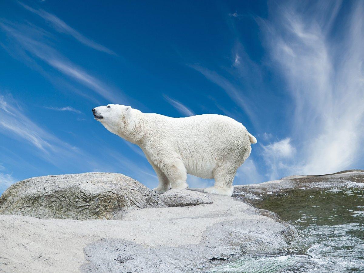 красивый медведь