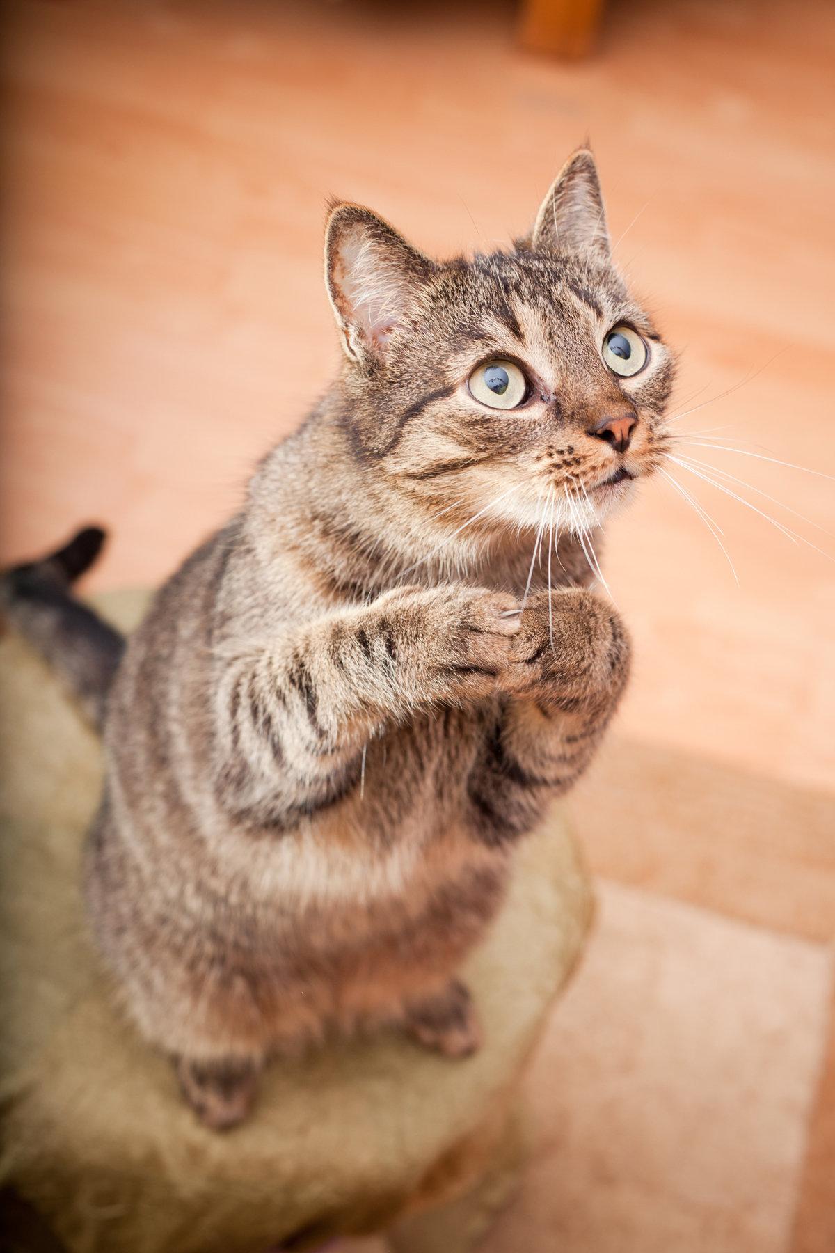 Смешные и милые котики при необходимости могут великолепно и почти элегантно стоять на двух лапах.