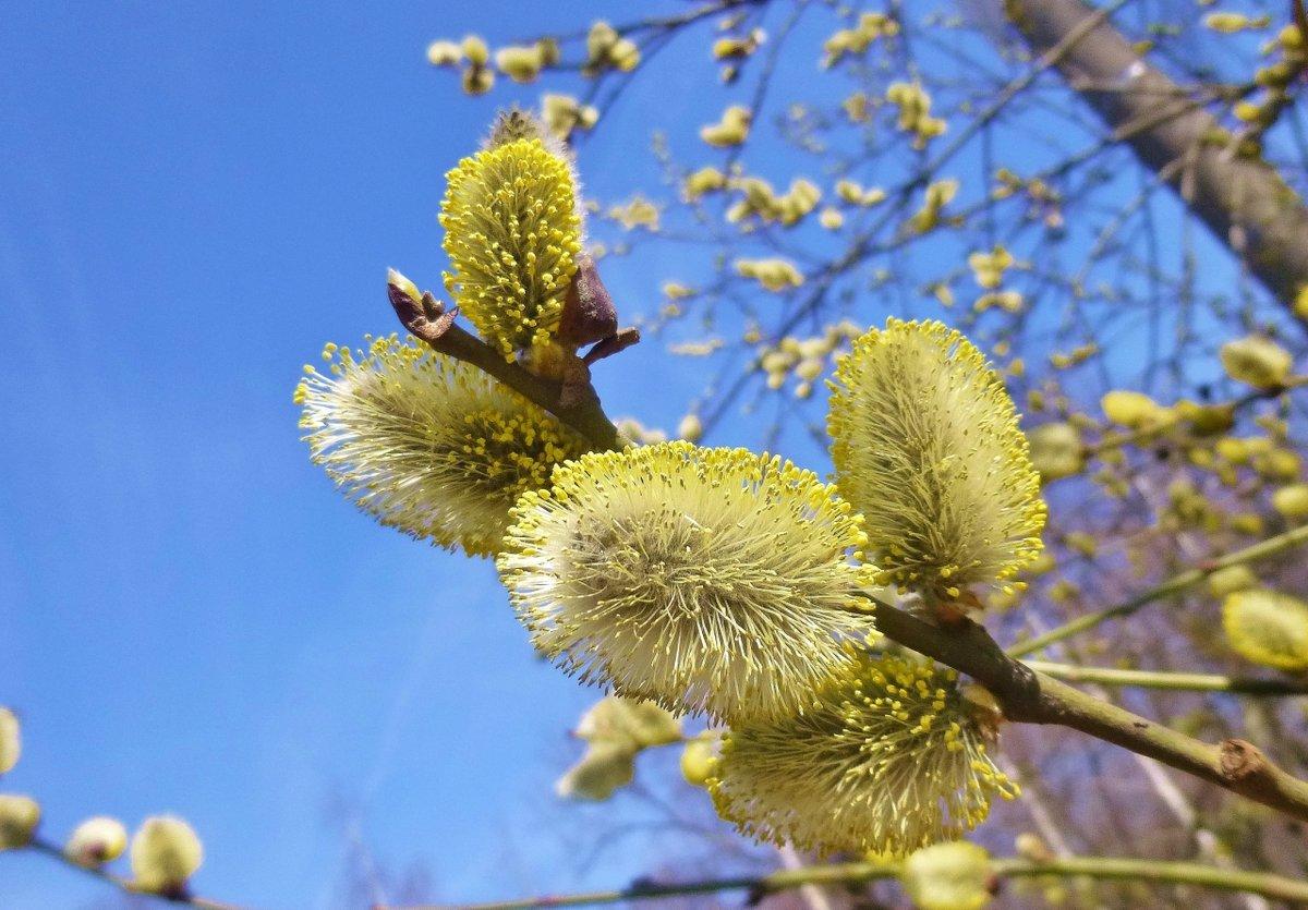 весна верба цветет если читаете
