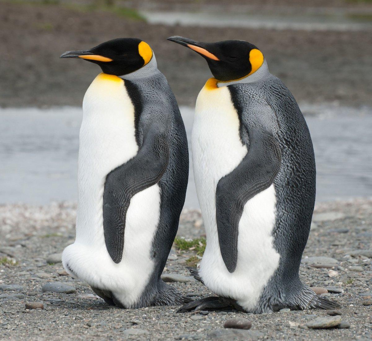 пингвин красивая картинка возникает путаница, так