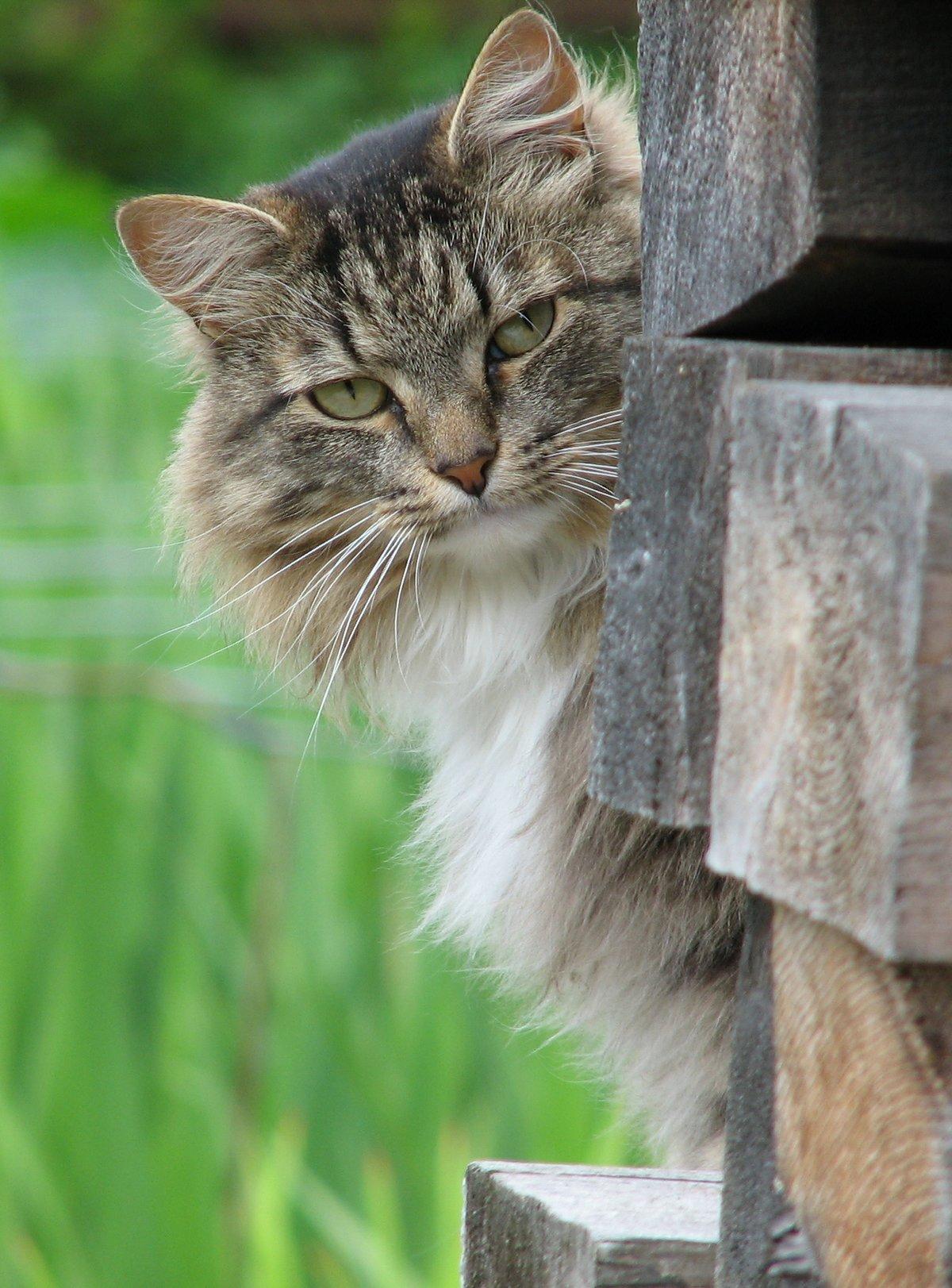 Кошка подглядывает картинки