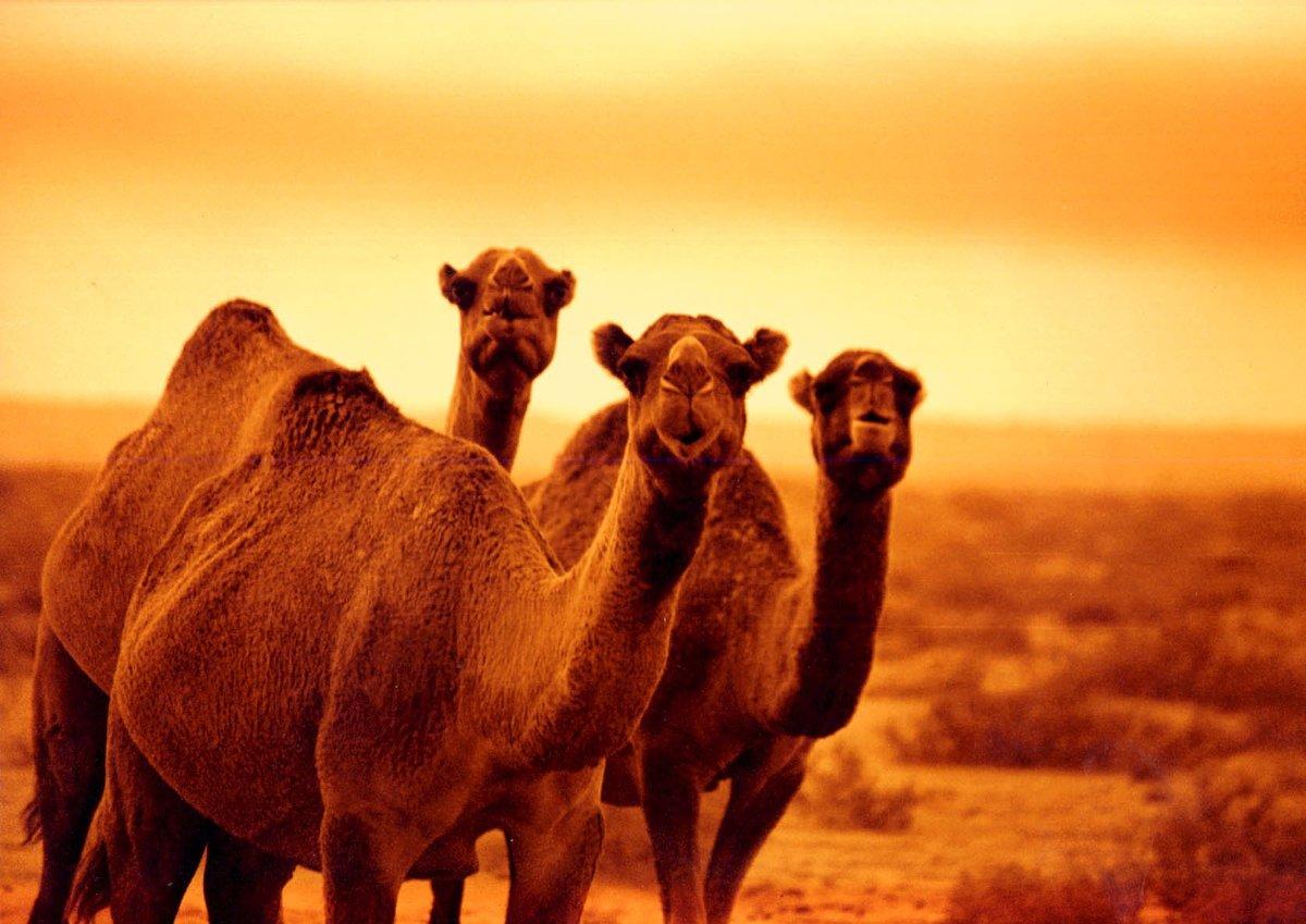 Картинка где много животных где там верблюд