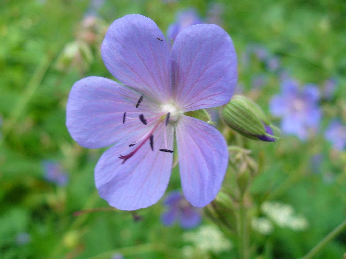 касается вида дикие цветы подмосковья фото с названиями выпускает