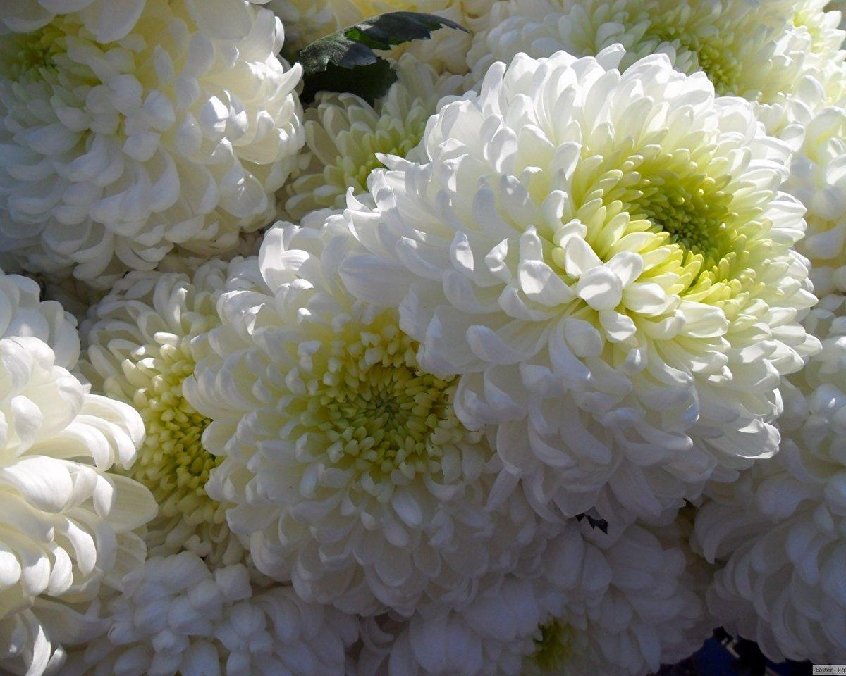 Открыток проводки, цветы хризантемы открытка