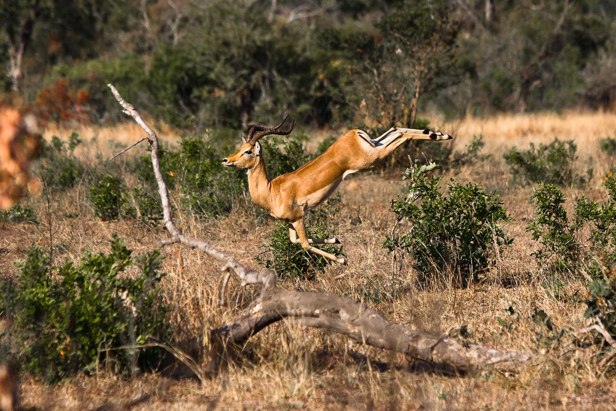 impala animal jumping - HD1200×800